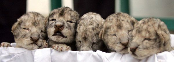 Five white lion cubs an endangered species on show at jordan zoo